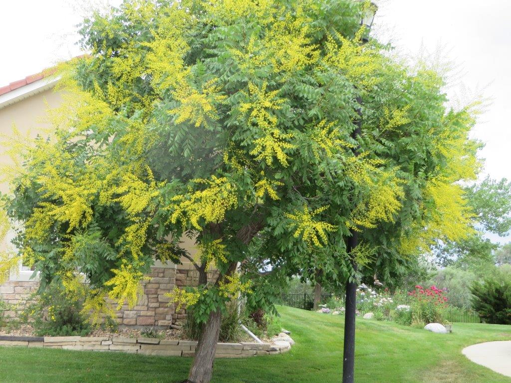 Trees of Longmont ... - Hoe and Hope Garden Club